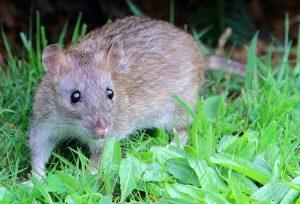 brown-rat-2
