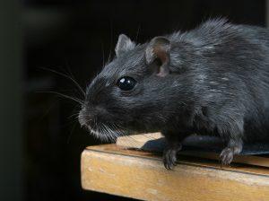 zwarte-rat-2