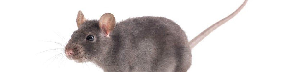 rattenoverlast - rattenbestrijding