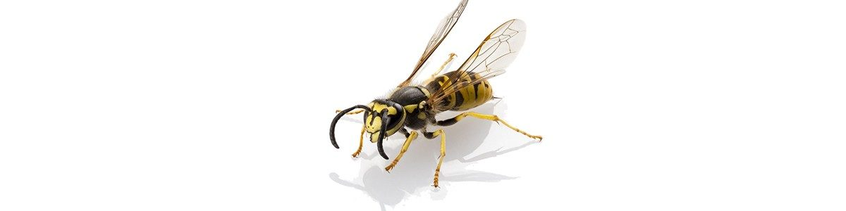 15392889 - wasp vespula germanica species isolated on white background
