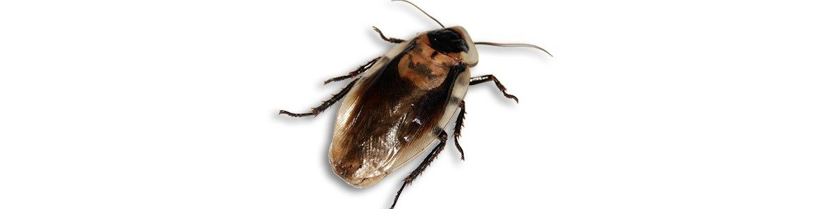 kakkerlak-1