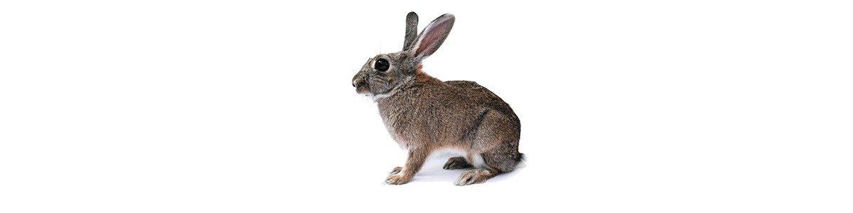 konijn-wide