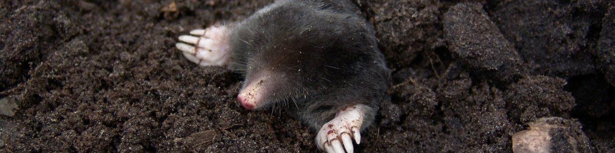 mole-13298_1920