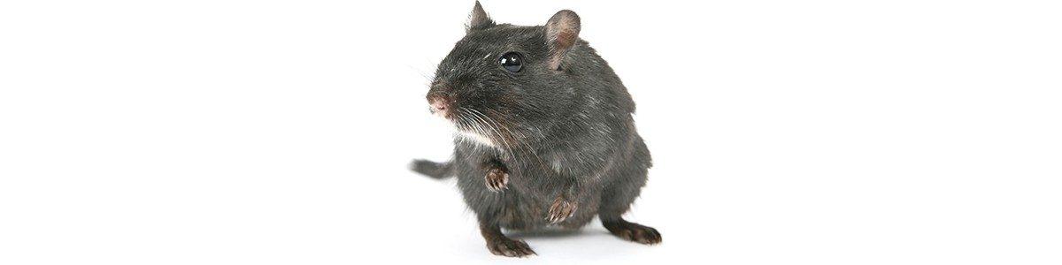 zwarte-rat-1